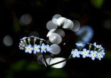 Free Forget-me-not Royalty Free Stock Photos - 19793328