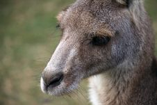 Free Young Eastern Grey Kangaroo Stock Photography - 19793862