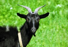 A Young Goat In The Grass Stock Photo