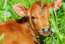 Free A Young Calf In The Grass Stock Image - 19793941