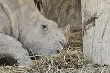 Free Rhinoceros Eating Dry Straw Stock Photo - 19794210