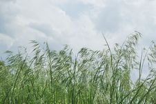 Free Dark Green Ears Of Grass Against Overcast Sky Stock Photos - 19794443