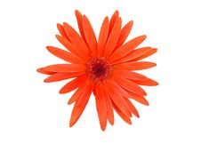 Free Gerber Daisy Stock Images - 19794644