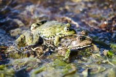 Free Two Frogs Stock Photos - 19794853
