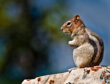 Golden Mantled Ground Squirrel Sitting Royalty Free Stock Photography