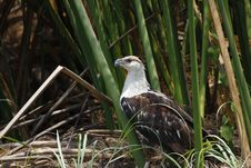 Free African Fish Eagle Royalty Free Stock Photography - 19796567