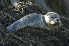 Free Harbor Seal Pup Royalty Free Stock Photography - 19797087