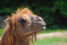 Free Camel Royalty Free Stock Photography - 19798787