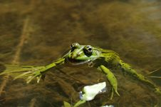 Free Green Frog Royalty Free Stock Image - 19799596