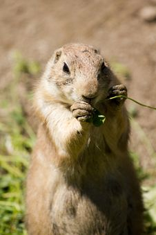 Free Prairie Dog Stock Image - 19799681