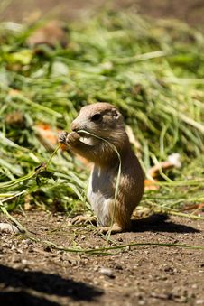 Free Prairie Dog Royalty Free Stock Images - 19799739