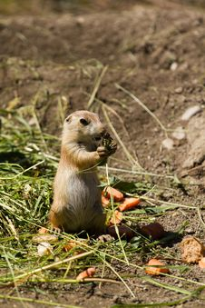 Free Prairie Dog Stock Images - 19799764