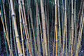Free Bamboo Forest Royalty Free Stock Photo - 1982995