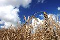 Free Wheat And Sky Royalty Free Stock Photo - 1984745