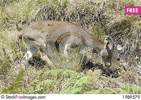 Free Nilgiri Tahr Royalty Free Stock Images - 1989579