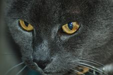 Free Blue Russian Cat Stock Images - 1981324