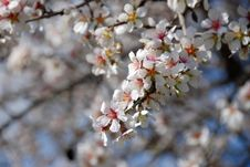 Free Plum Blossoms Royalty Free Stock Photo - 1981555