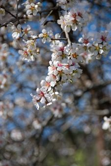 Free Plum Blossoms Royalty Free Stock Photography - 1981567