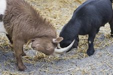 African Goats Playing Royalty Free Stock Photos