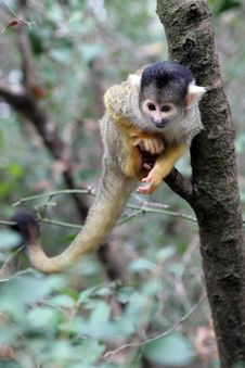 Free Squirrel Monkey On The Tree Stock Photo - 1985160