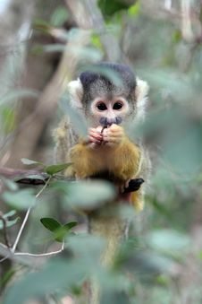 Free Squirrel Monkey Hiding Behind The Leaves Royalty Free Stock Photos - 1985238