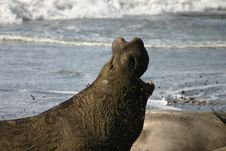 Free Proud Elephant Seal Royalty Free Stock Photos - 1986708