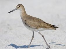 Free Willet Stock Photography - 1987332