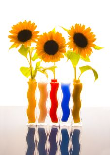 Free Colourful Helianthus Royalty Free Stock Photo - 1987975