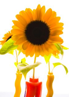 Free Colourful Helianthus Royalty Free Stock Image - 1987996