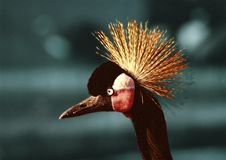 Free Crowned Crane Stock Image - 1988051