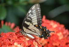 Free Eastern Yellow Tiger Swallowtail Stock Photography - 1988862