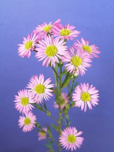 Free Small Purple Daisies Stock Photography - 1989532