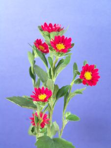Free Small Red And Yellow Daisies Royalty Free Stock Photography - 1989587
