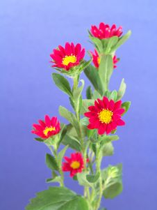 Free Small Red And Yellow Daisies Stock Photo - 1989600