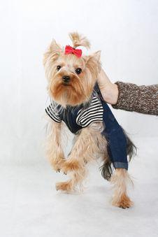 Free Little Terrier Stock Photos - 1989923