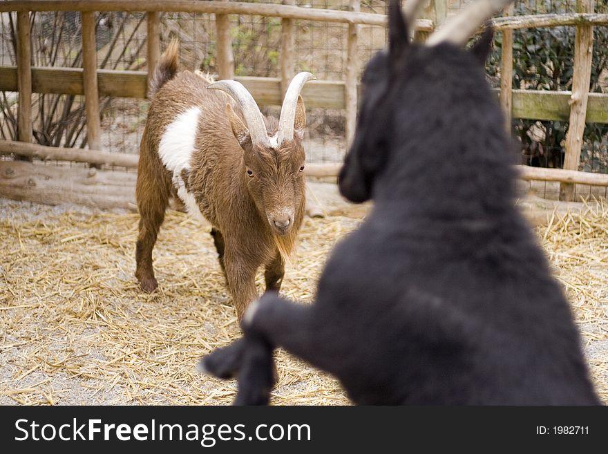 African Goats doing battle