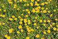 Free Dandelions On A Meadow Stock Photo - 19800010