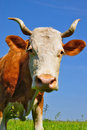 Free Cow Son A Summer Pasture Stock Photos - 19807753