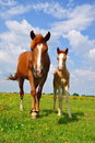 Free Foal With A Mare On A Summer Pasture Stock Photo - 19807770