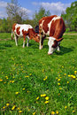 Free Cows On A Summer Pasture Stock Photo - 19807900
