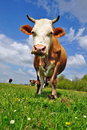 Free Cow On A Summer Pasture Stock Images - 19807954