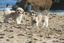 Free Dogs On Beach Stock Photo - 19800840