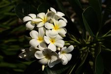 Free Plumeria Flowers Stock Photos - 19801053