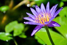Free Purple Lotus Stock Photos - 19801533