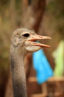 Free Ostrich Royalty Free Stock Photography - 19802277