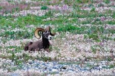 Free Male Bighorn Sheep With Large Horns Royalty Free Stock Photo - 19802495