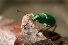 Free Green Bug Royalty Free Stock Photography - 19803257