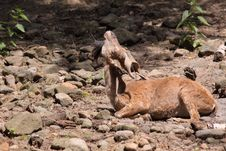 Markhor Royalty Free Stock Photography