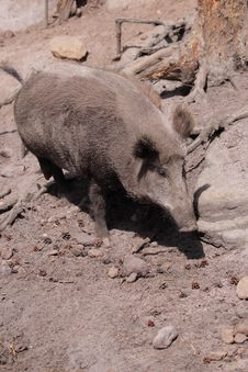 Free Wild Boar Stock Photos - 19805973