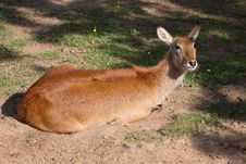 Red Lechwe Stock Photography